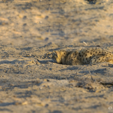 """""""Hunting Mode"""" , Canon EOS 7D MARK II, Canon EF 600mm f/4.0L IS II USM"""