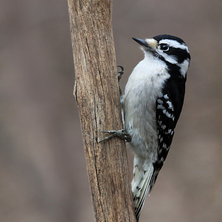 Downy Woodpecker, Canon EOS REBEL T1I, Sigma 150-500mm f/5-6.3 APO DG OS HSM