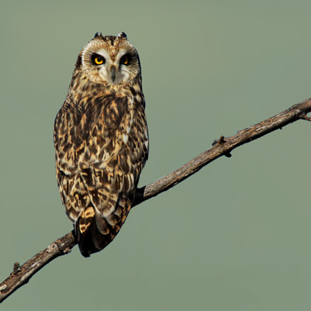 Short Eared Owl, Canon EOS REBEL T1I, Sigma 150-500mm f/5-6.3 APO DG OS HSM