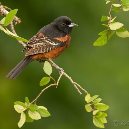 Orchard Oriole in a, Canon EOS-1D X, Canon EF 500mm f/4L IS II USM