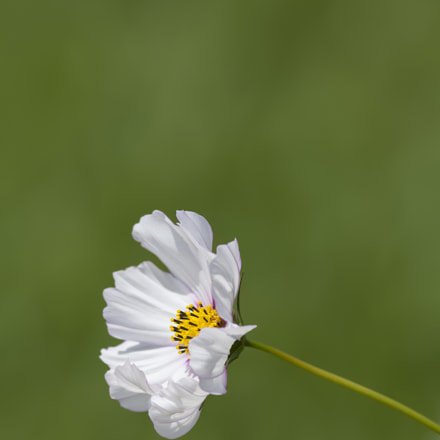 Cosmos, Canon EOS 5D MARK II, Canon EF 300mm f/4L IS