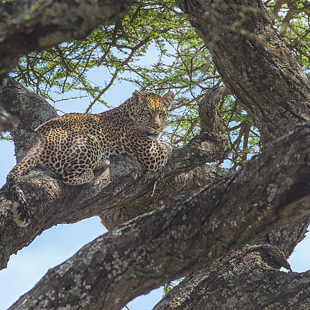 Leopard, Canon EOS-1D X, Canon EF 500mm f/4L IS