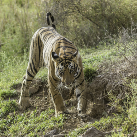Royal Bengal Tiger, Canon EOS 7D MARK II, Canon EF 300mm f/4L IS