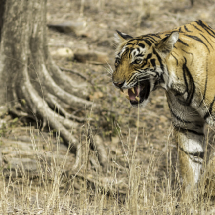 Royal Bengal Tiger ...Calling, Canon EOS 7D MARK II, Canon EF 300mm f/4L IS