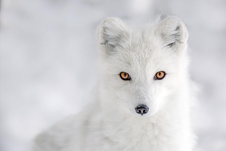 Arctic Eyes by Jon  Albert on 500px.com