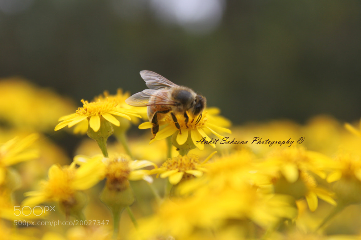 Photograph Bee by Ank S on 500px
