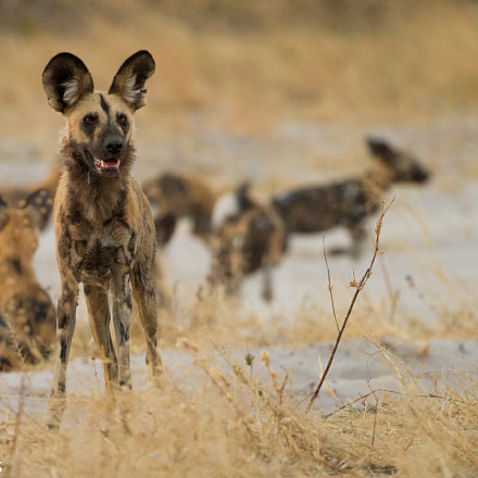 African Wild Dogs Lycaon, Canon EOS 7D, Canon EF 200-400mm f/4L IS USM
