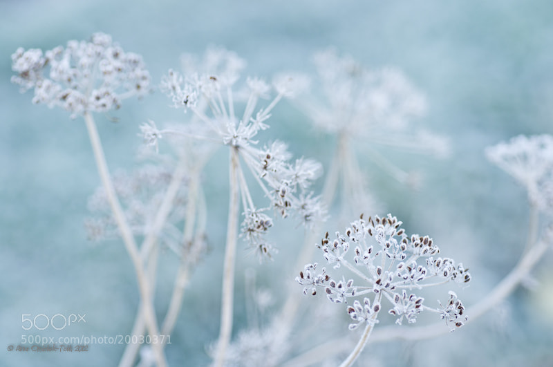 Photograph Winter Lace by Anna Omiotek-Tott on 500px