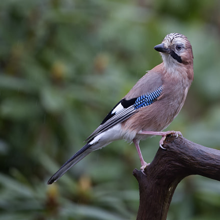 Eurasian Jay in the, Canon EOS 5D MARK III, Canon EF 500mm f/4L IS