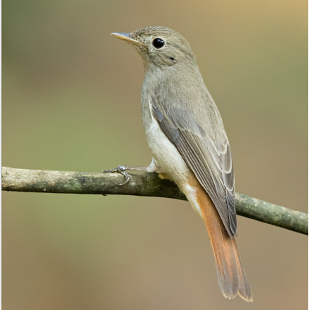 Rusty Tailed Flycatcher, Canon EOS 7D MARK II, Canon EF 500mm f/4L IS