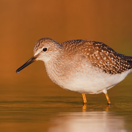 Lesser Yellowlegs at First, Canon EOS-1D MARK III, Canon EF 500mm f/4L IS + 1.4x