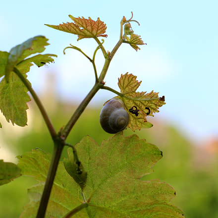 snail in the vigneyard, Canon EOS 6D, Canon EF 24-105mm f/3.5-5.6 IS STM