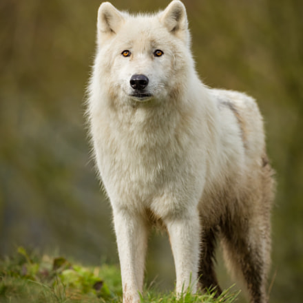 Arctic Wolf, Canon EOS 5D MARK III, Canon EF 500mm f/4L IS