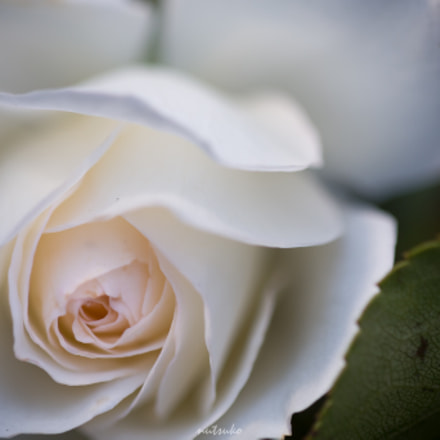 White and pink rose, Canon EOS 70D, Sigma APO Macro 150mm f/2.8 EX DG HSM