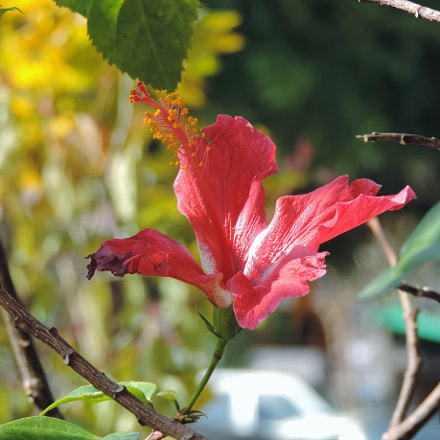 Red hibiscus, Nikon COOLPIX P520
