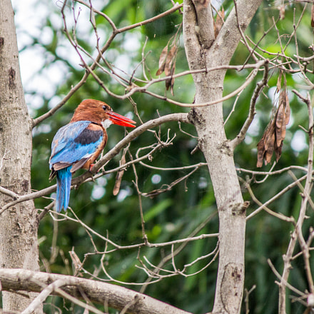 Kingfisher, Canon EOS 60D, Canon EF-S 55-250mm f/4-5.6 IS II