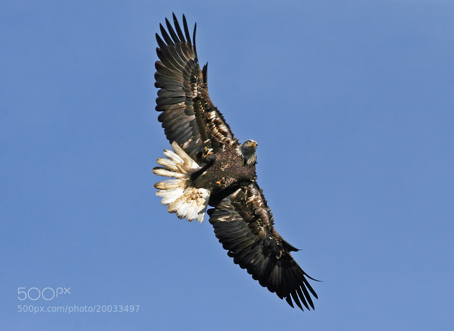 This immature Bald Eagle, approximately 3.5 to 4.5 years old put on quite a display which included a couple photo passes and then this maneuver akin to a hoover.