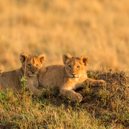 CUB BROTHERS, Canon EOS-1D X, Canon EF 500mm f/4L IS