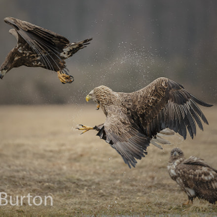 White-tailed eagle chasing a, Canon EOS-1D X, Canon EF 200-400mm f/4L IS USM
