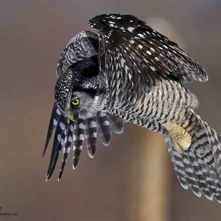 Northern Hawk Owl, Nikon D3S, AF-S Nikkor 500mm f/4D IF-ED II