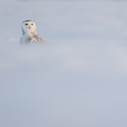 Female snowy owl stands, Canon EOS 7D MARK II, Canon EF 500mm f/4L IS