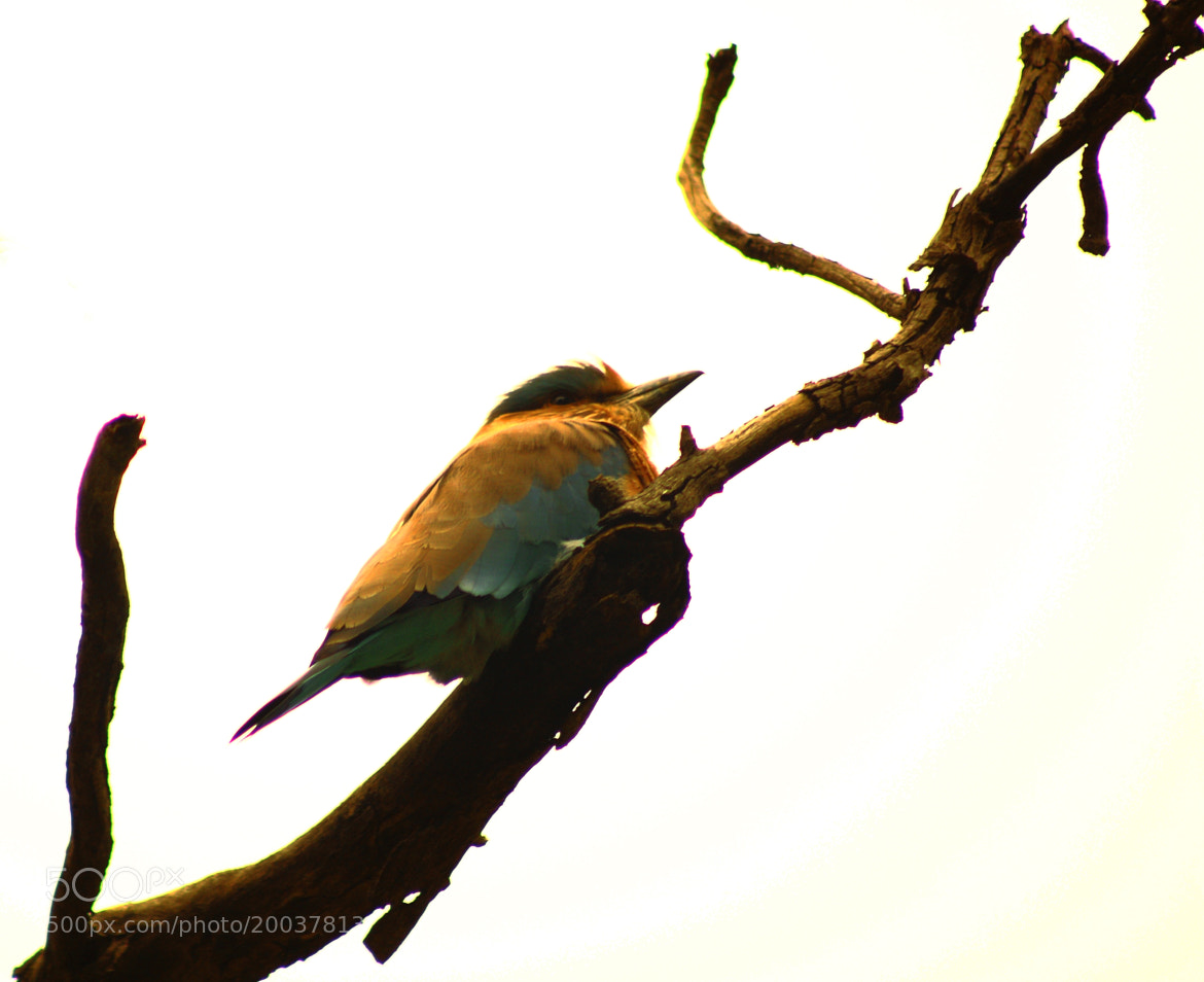 Photograph Indian Roller by Sudipta Mukhopadhyay on 500px