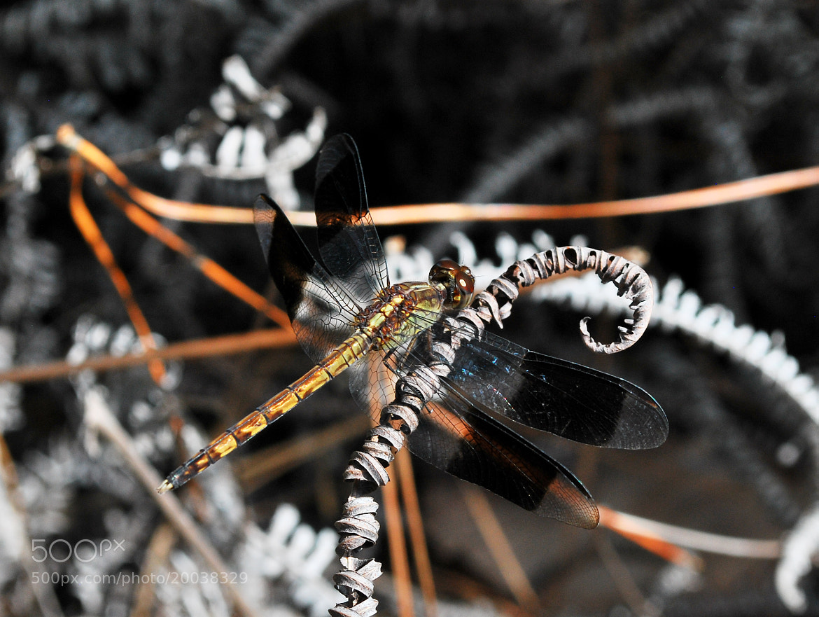 Photograph dragonfly by Willa Hu on 500px
