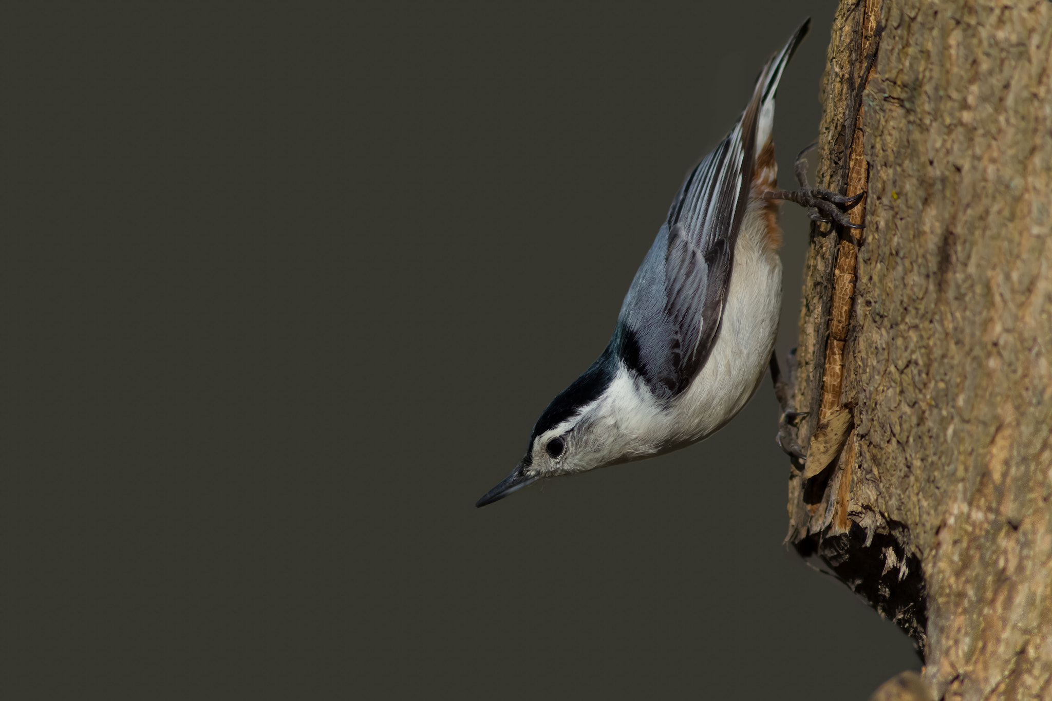 Photograph Nuthatch by Anuj  Raj on 500px