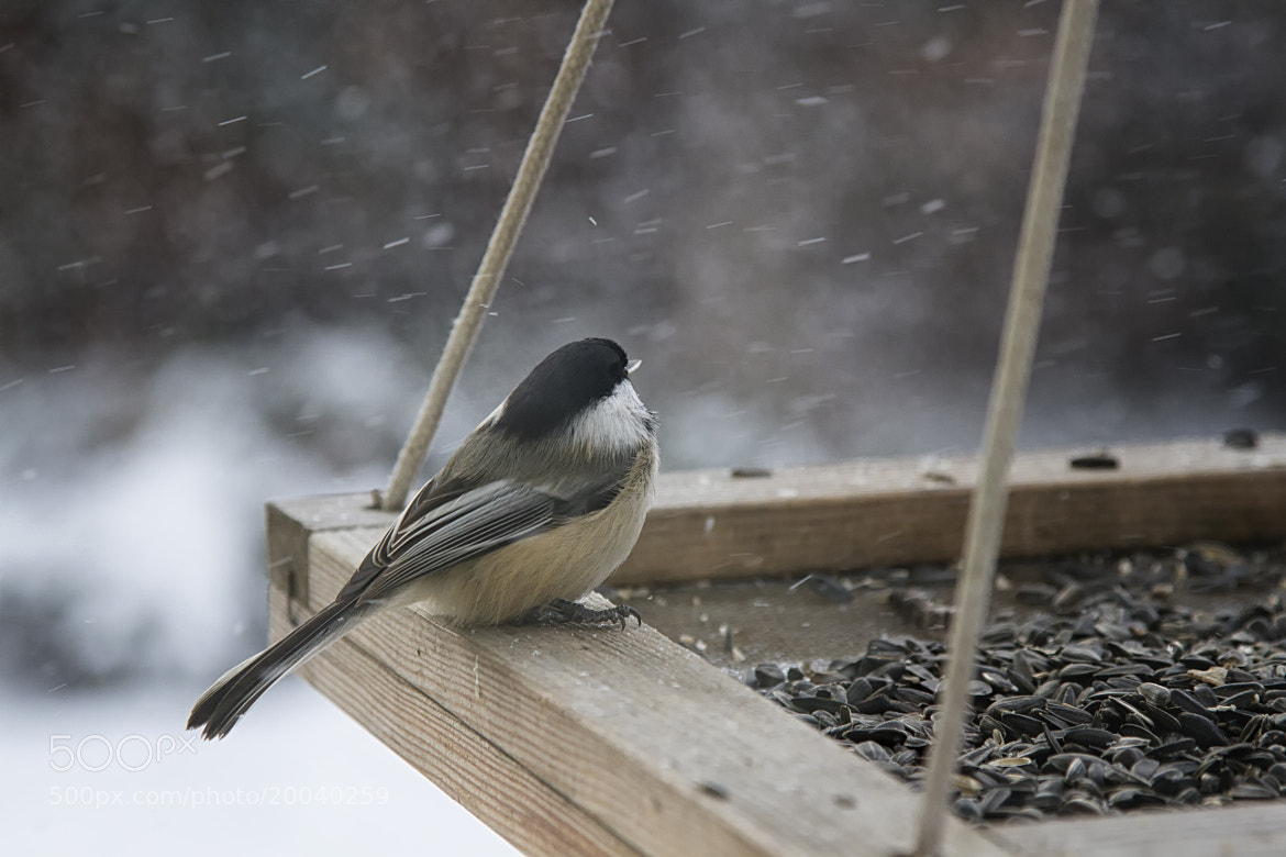 Photograph Chickadee in the snow by Alan du Heaume on 500px