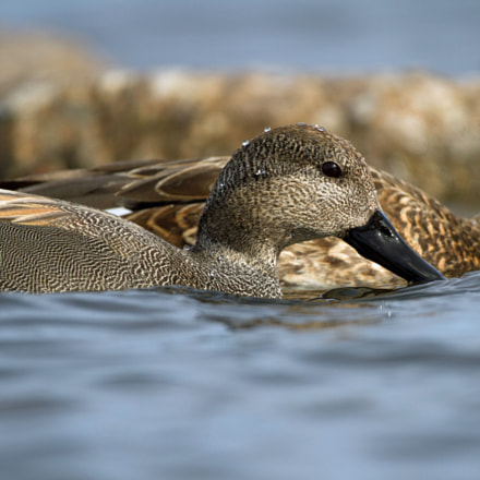 gadwall, Canon EOS 7D, Canon EF 300mm f/4L IS