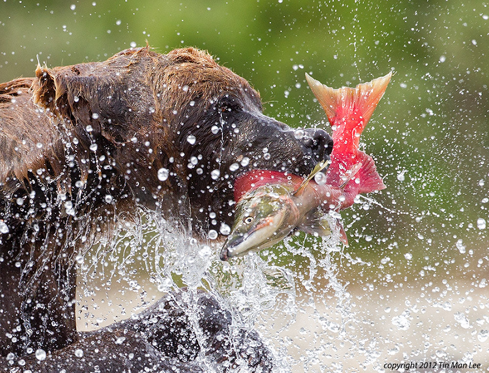 Photograph Bear and Salmon by Tin Man on 500px