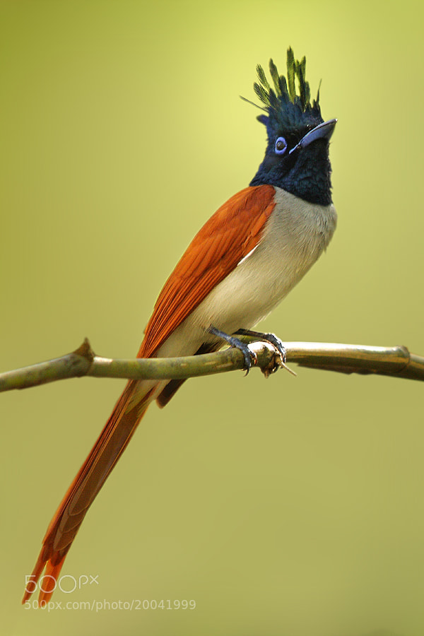 Photograph Asian Paradise Flycatcher Adult Male  by Sharad Agrawal on 500px