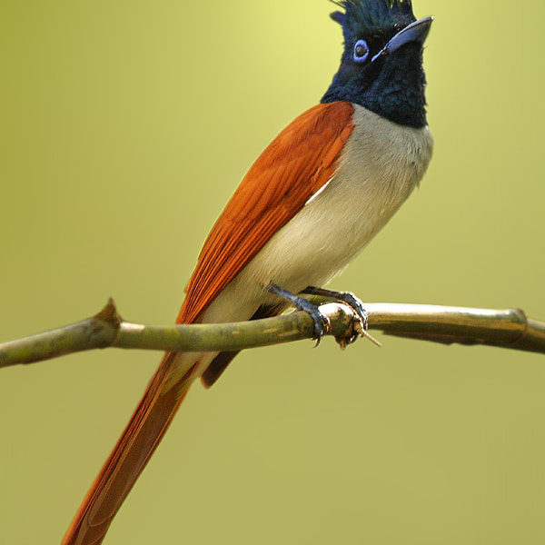 Asian Paradise Flycatcher Adult Male