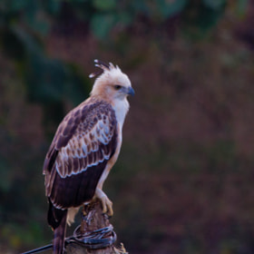 Changeable Hawk Eagle (Juvenile)..  by Santosh Mulik (SantoshMulik)) on 500px.com