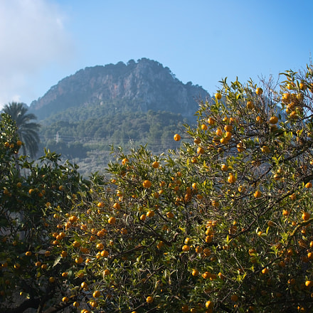 Orange trees Soller, Nikon D7100, AF-S Nikkor 600mm f/4D IF-ED II