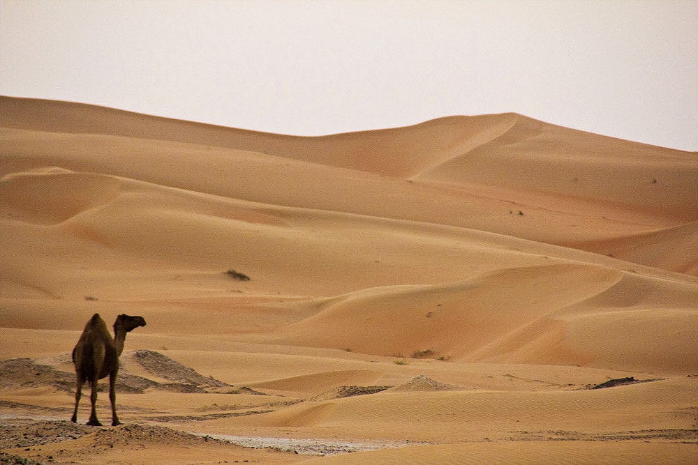 Photograph Camel in the Desert by Gwiyun Park on 500px