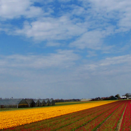 Tulip fields in Holland, Netherlands
