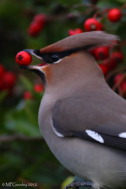 Photograph Waxwing close up by Martin  Goodey on 500px