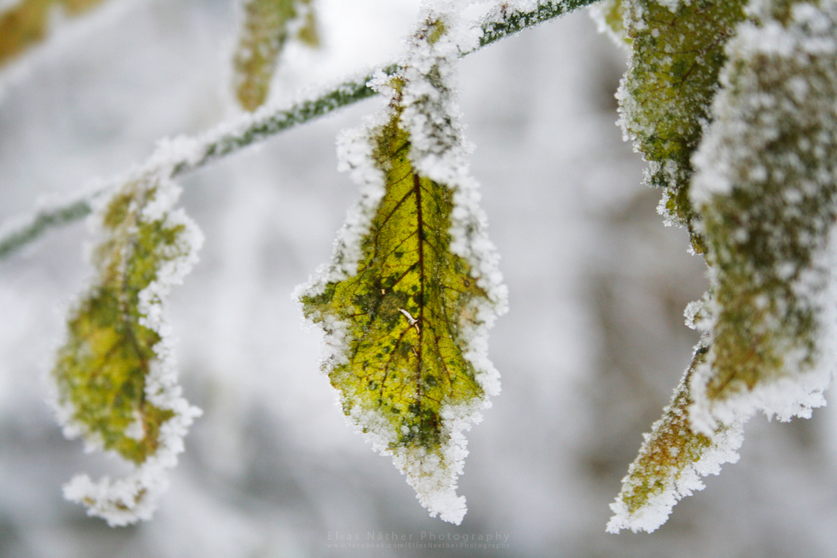 Photograph Frozen Leaves by Elias Näther on 500px