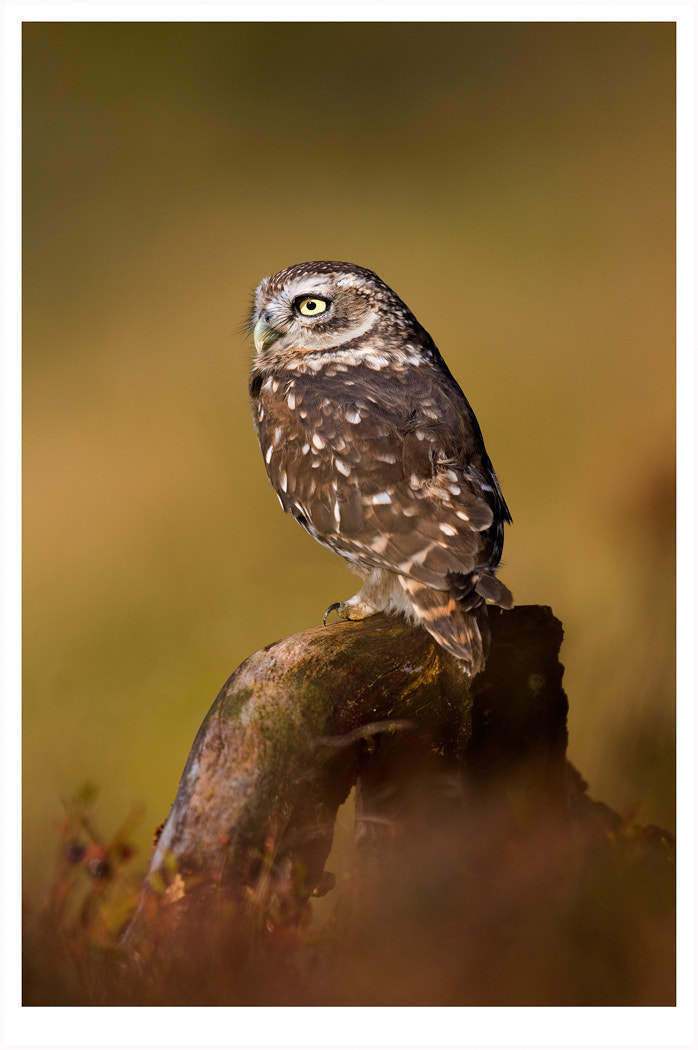 Photograph Little Owl by Dave Kitson on 500px