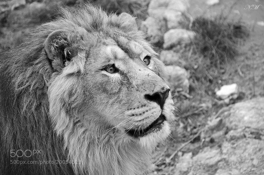 Lion by Nono M. (EventphotoProd)) on 500px.com