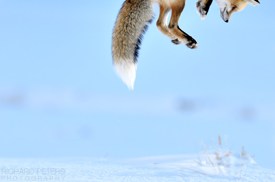 Photograph Snow Pounce by Richard Peters on 500px