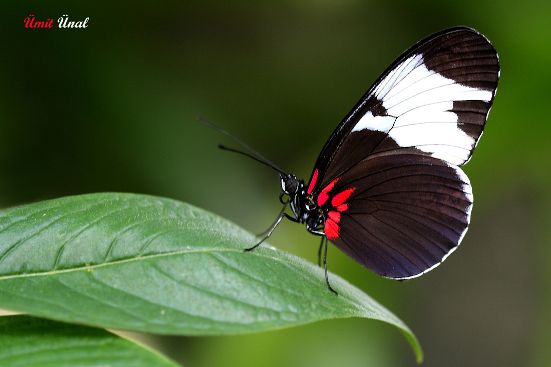 Photograph Longwing Sapho by umit unal on 500px