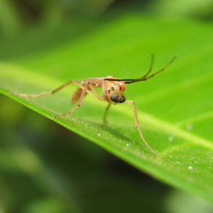 Male mosquito...., Canon POWERSHOT A495