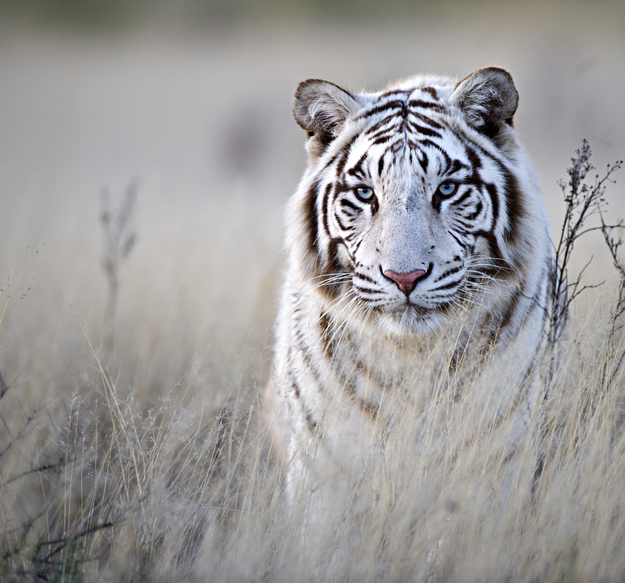 Tiger in White by Bridgena Barnard on 500px.com
