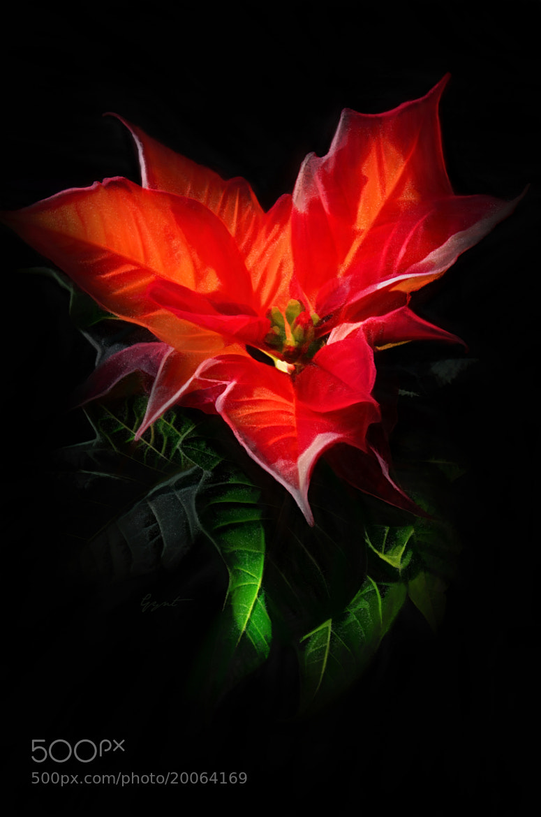 Photograph Red Poinsettia or Christmas Flower by Gynt S on 500px