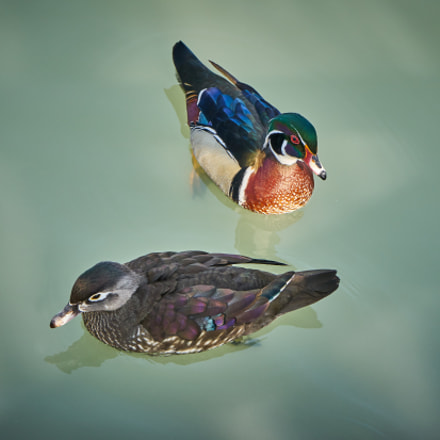 Just Married Wood Ducks, Sony ILCE-7M2