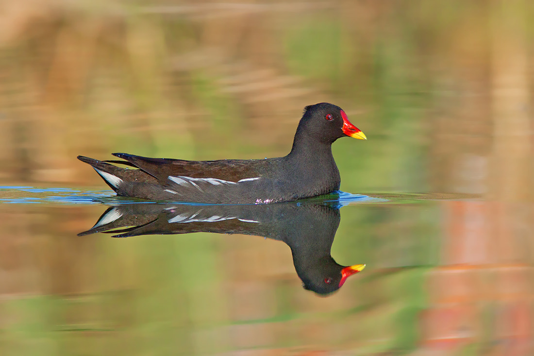 Photograph Common Moorhen  by Roy Avraham on 500px