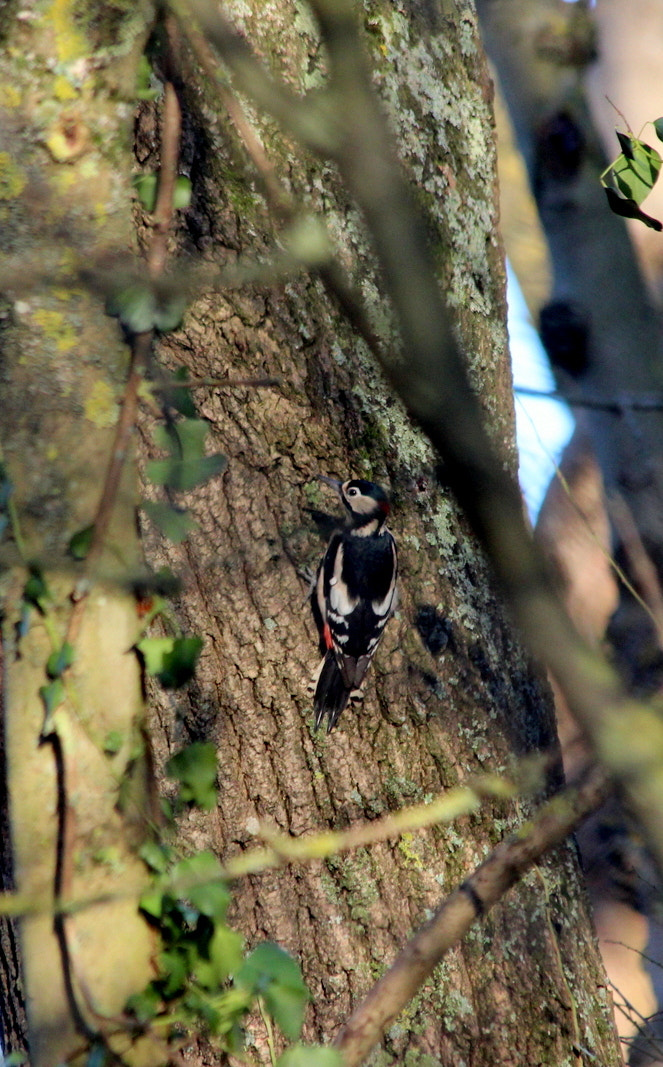 Photograph Greater Spotted Woodpecker by Mark Turner on 500px