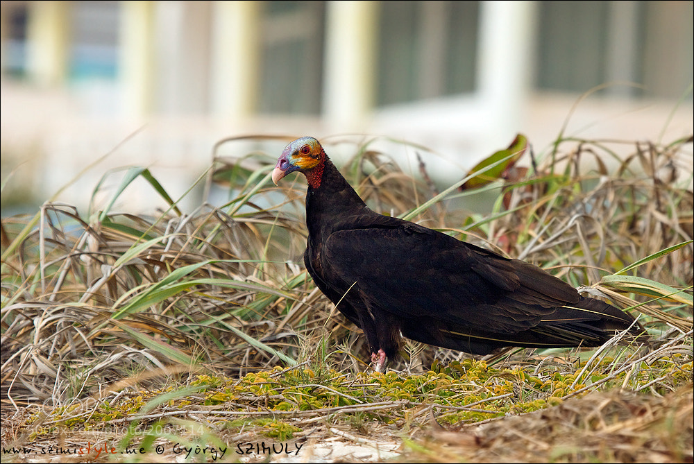 Photograph Lesser Yellow-headed Vulture (Cathartes burrovianus) by Gyorgy Szimuly on 500px